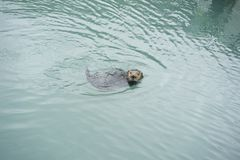 Het overzeese Otter zwemmen stock fotografie