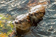 Het overzeese otters koppelen Royalty-vrije Stock Foto's