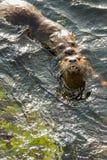 Het overzeese otters koppelen Stock Afbeelding