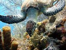 Het overzeese schildpad eten Stock Foto