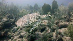 Het overzeese schildpad onderwater zwemmen stock footage