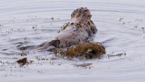 Het overzeese van Californië otter voeden stock video