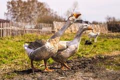 Het paar binnenlandse ganzen gaat naar de kreek royalty-vrije stock fotografie