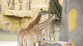 Het paar giraffen eet groene takken bij de dierentuin, dieren in het safaripark, giraffen met hun lange halzen in stock videobeelden