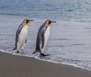 Het paar Koningspinguïnen gaat het water op Zuid-Georgië in Royalty-vrije Stock Afbeelding