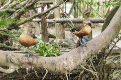 Het Paar Lesser Whistling Duck (Dendrocygna-javanica) Royalty-vrije Stock Foto's