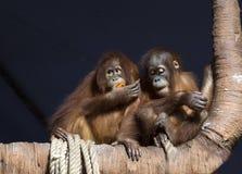 Het paar orangoetans Royalty-vrije Stock Afbeelding