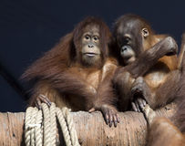 Het paar orangoetans Stock Afbeeldingen