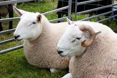 Het paar schapen bij landbouw toont royalty-vrije stock fotografie