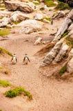Het paar Steenachtige Puntpinguïnen neemt een gang stock fotografie