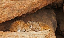 Het Paar van Bobcat Royalty-vrije Stock Fotografie