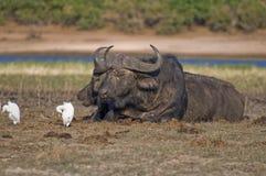 Het paar van de Buffels van de kaap het rusten Royalty-vrije Stock Fotografie