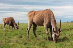 Het paar van de elandantilope het weiden Stock Foto's