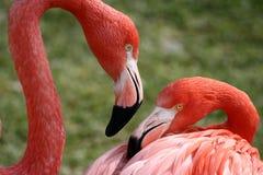 Het Paar van de flamingo Royalty-vrije Stock Afbeeldingen