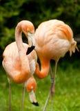 Het paar van de flamingo bij dierentuin Stock Foto's