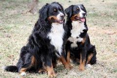 Het Paar van de Hond van de Berg van Bernese Stock Foto