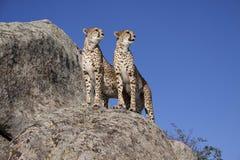 Het paar van de jachtluipaard Stock Afbeeldingen