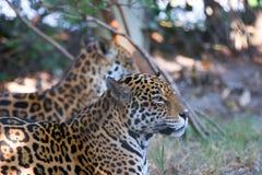 Het Paar van de jaguar royalty-vrije stock afbeelding
