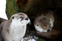 Het paar van de otter in de winter royalty-vrije stock foto