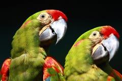 Het Paar van de papegaai Stock Foto