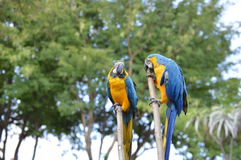 Het paar van de papegaai Royalty-vrije Stock Foto's