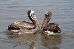 Het paar van de pelikaan Stock Afbeelding