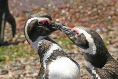 Het paar van de pinguïn Stock Foto's