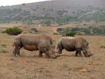 Het paar van de rinoceros Stock Afbeeldingen