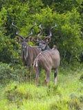 Het Paar van de Stier van Kudu Stock Afbeeldingen