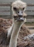 Het paar van de struisvogel Royalty-vrije Stock Fotografie