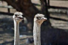 Het paar van de struisvogel Royalty-vrije Stock Foto's