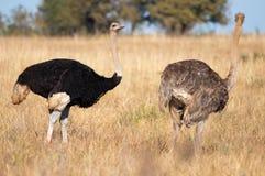 Het paar van de struisvogel Stock Fotografie