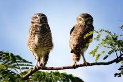 Het paar van de uil op tak Stock Foto