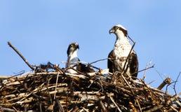 Het Paar van de visarend in Nest Stock Foto's