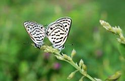 Het paar van de vlinder Royalty-vrije Stock Afbeeldingen