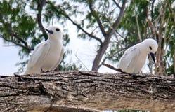 Het paar van de vogel. Droefheid, inbreuk. Royalty-vrije Stock Afbeelding