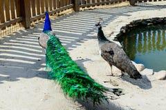Het paar van de vogelpauw Stock Foto's