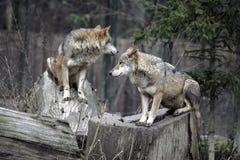 Het paar van de wolf Stock Foto's