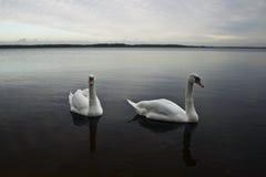 Het paar van de zwaan Royalty-vrije Stock Afbeeldingen