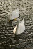 Het Paar van de zwaan Stock Foto
