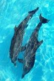 Het paar van dolfijnen in turkoois Caraïbisch water Stock Fotografie