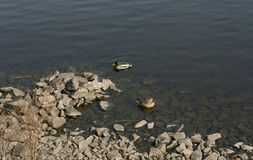 Het paar van eend en de mannetjeseend zwemmen in de meerfoto Royalty-vrije Stock Afbeeldingen
