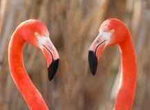 Het paar van flamingo's Stock Foto's