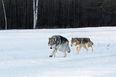 Het paar van Grey Wolves Canis-wolfszweer loopt samen op Gebied Royalty-vrije Stock Foto's