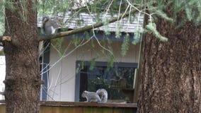 Het paar van grijze eekhoorn zit dichtbij omheining en boom stock videobeelden