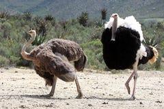 Het Paar van het Fokken van de struisvogel Royalty-vrije Stock Foto's