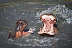 Het paar van hippos zwemt en speelt in water royalty-vrije stock fotografie