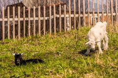 Het paar van jonge geitjes weidt achter de omheining, haag stock fotografie