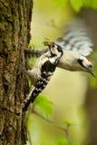 Het paar van Lesser Spotted Woodpecker Dendrocopos-minderjarige bij de ingang aan hun nestwijfje wacht met volledige bek van rich royalty-vrije stock foto