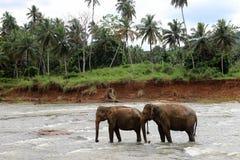 Het paar van olifanten kruist de rivier Stock Foto
